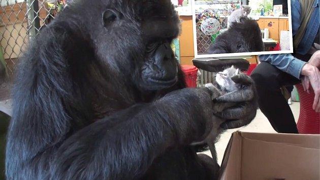 """Koko se konečně dočkala vytouženého """"miminka""""."""