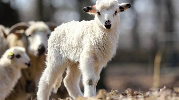 Ovce valaška. Ilustrační foto