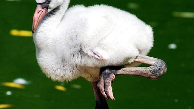 Plameňák kubánský nedávno vylíhnutý v ostravské zoo