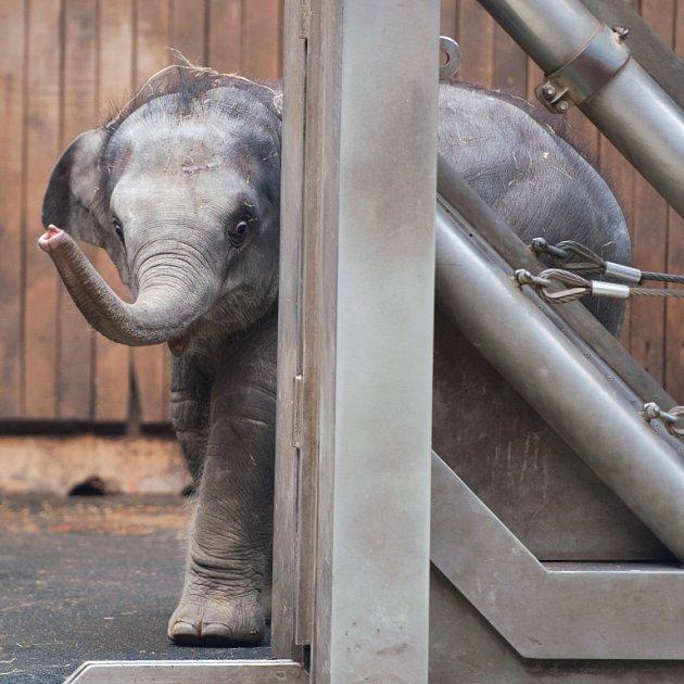 Oslava narozenin nejmladší slonice vostravské ZOO.