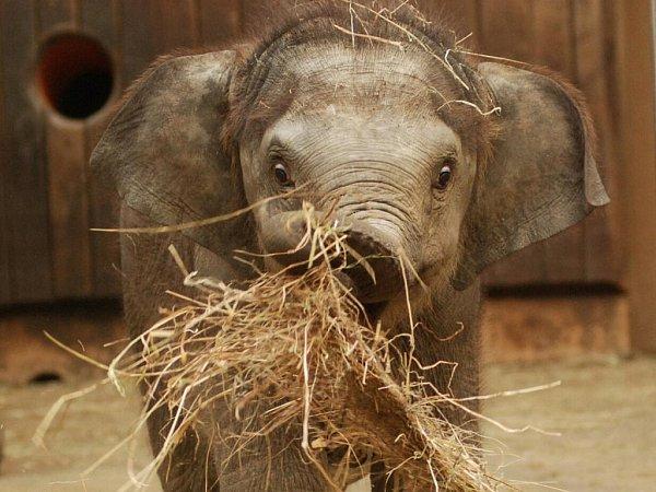 Sloní samička Rashmi se má čile ksvětu. Oblíbenou zábavou uvnitř pavilonu je pro ní boj se senem.