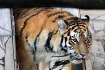 Tygr na ilustračním snímku z ostravské zoo