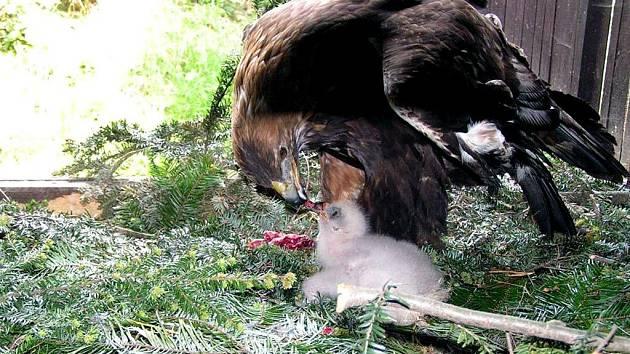 Samice Dina pečuje o opuštěná mláďata