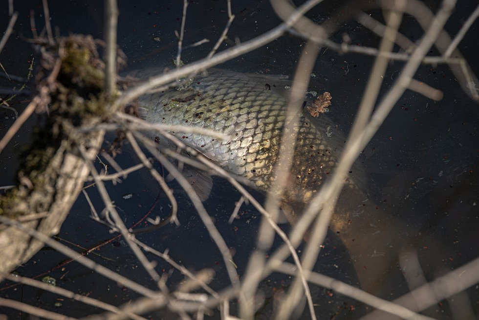 Uhynulé ryby ve Výškovických tůních v Ostravě, 3. březen 2021.