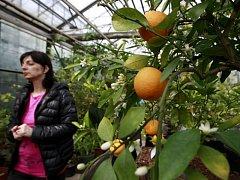 V Botanické zahradě Ostravské univerzity proběhla výstava citrusů.