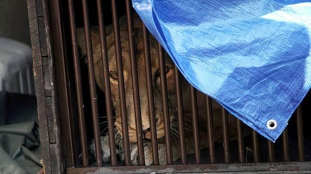 Samice lva indického Asha opustila ostravskou zoologickou zahradu. Novým domovem jí bude francouzské Nesles.