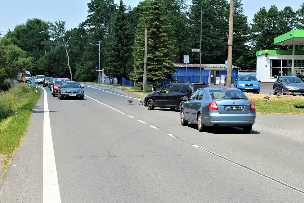 """Asi desetičlenného husí hejno zastavilo dopravu v Rychvaldu. Na snímku """"závěr průvodu""""."""