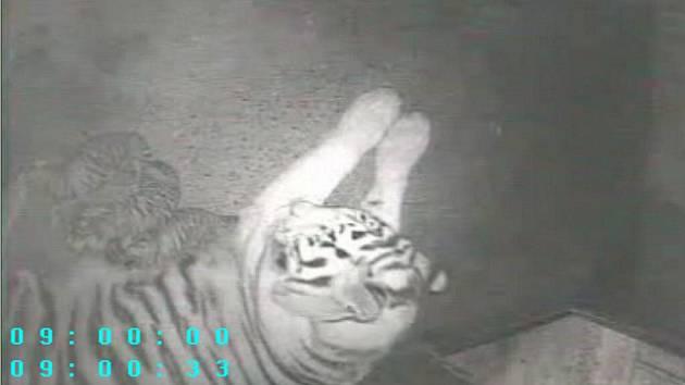 Teprve nedělní bouřka a příval deště tygřici Maju zneklidnily natolik, že se rozhodla přenést mláďata do porodního boxu, ve kterém zůstane zhruba jeden měsíc. Zde ji snímá kamera, díky níž se potvrdilo, že mláďata jsou tři.