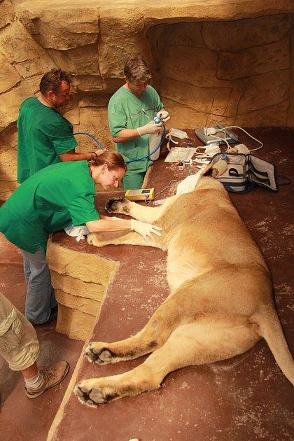 Sloni indičtí, samice žirafy Rothschildovy a pár lvů indických se podrobili náročnému vyšetření reprodukčních orgánů. Veterinární prohlídku vedli pracovníci Leibnizova institutu pro výzkum zvířat.