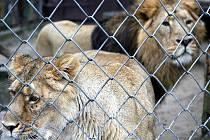 Samice Kiba a samec Sohan. Do tohoto páru lvů indických nyní ostravská zoo vkládá velké naděje.