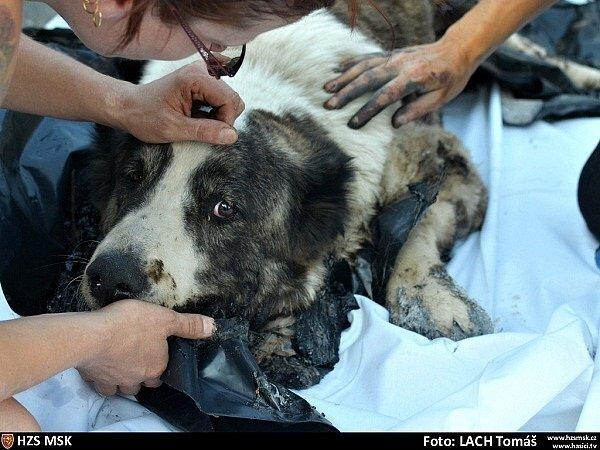 Záchrana psa uvízlého v asfaltu.
