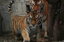 Tygří pár Maja a Tharo mají námluvy