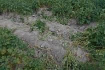 Muž stihl vykopat jen několik kilogramů brambor.