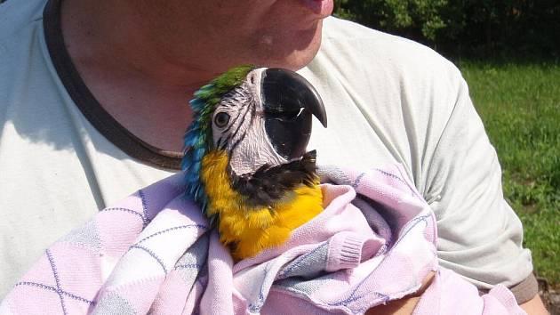 Hasiči o víkendu pomohli s odchytem papouška ary ararauny.