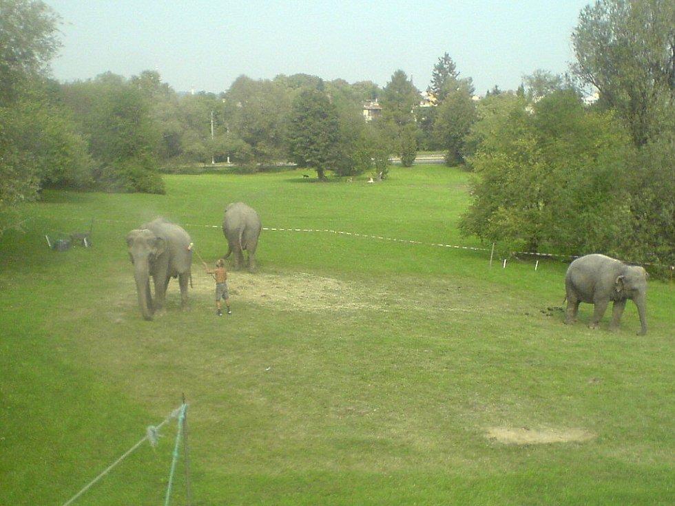 Sloni na procházce v Porubě opět budili rozruch.