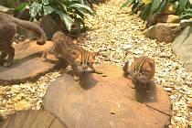 Mláďata kočky cejlonské