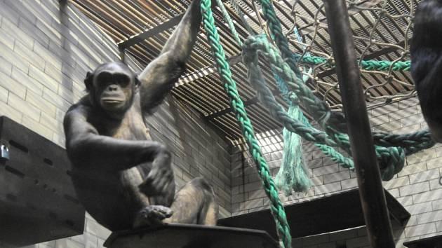 Tři šimpanzi ostravské zoo slavili v pátek 30. ledna narozeniny.