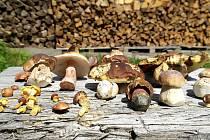 PRAVÁKY, sinoly, suchohřiby, klouzky, kuřátka, růžovky, to se dá momentálně najít v lese na Morávce.