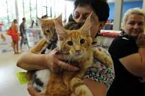 Mezinárodní výstavu koček hostil o tomto víkendu pavilon A na ostravském výstavišti Černá louka. Návštěvníci mohli během soboty a neděle vidět celkově přes čtyři sta koček různých plemen.