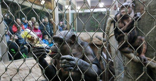 Vostravské zoologické zahradě se vpátek návštěvníci iošetřovatelé loučili se čtyřmi šimpanzími samicemi, které jsou připravovány na převoz do nového domova. Tím se stane Zoo Lipsko.