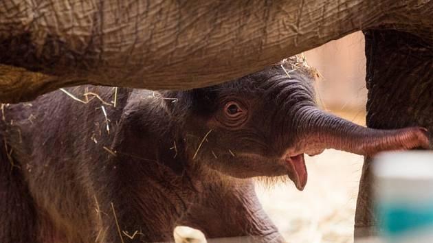 Sloní mládě v ostravské ZOO.