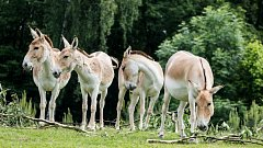 V ostravské Zoo se snaží zachránit druh osla, kterému hrozí vyhynutí.