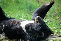 Jak se žije rysům a dalším šelmám v Beskydech. Akce pro veřejnost v ostravské zoologické zahradě, 4. května 2019 v Ostravě. Na snímku Medvěd ušatý.