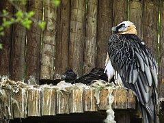 Mládě orlosupa bradatého v ostravské zoo.
