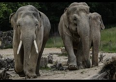 Vlevo samec slona indického.