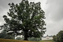 Dub stojící na golfovém hřišti v zámeckém parku v Šilheřovicích obsadil druhé místo v anketě Strom roku České republiky 2015.