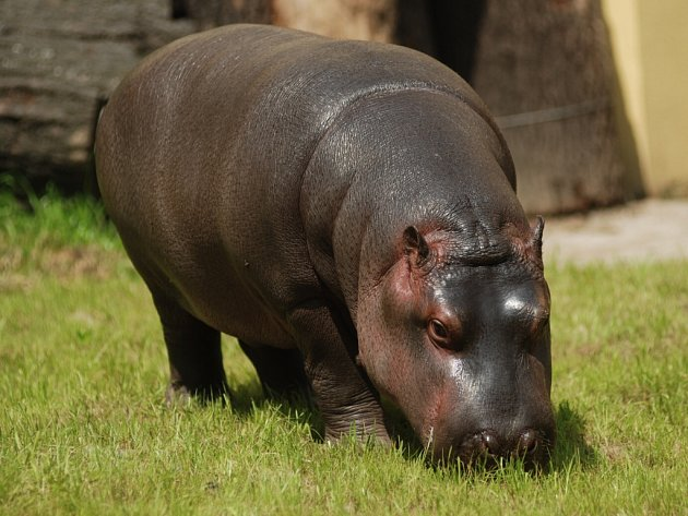 Hroch z ostravské zoo.