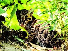 Mládě pardála obláčkového na prvním průzkumu venkovního výběhu ostravské zoo.