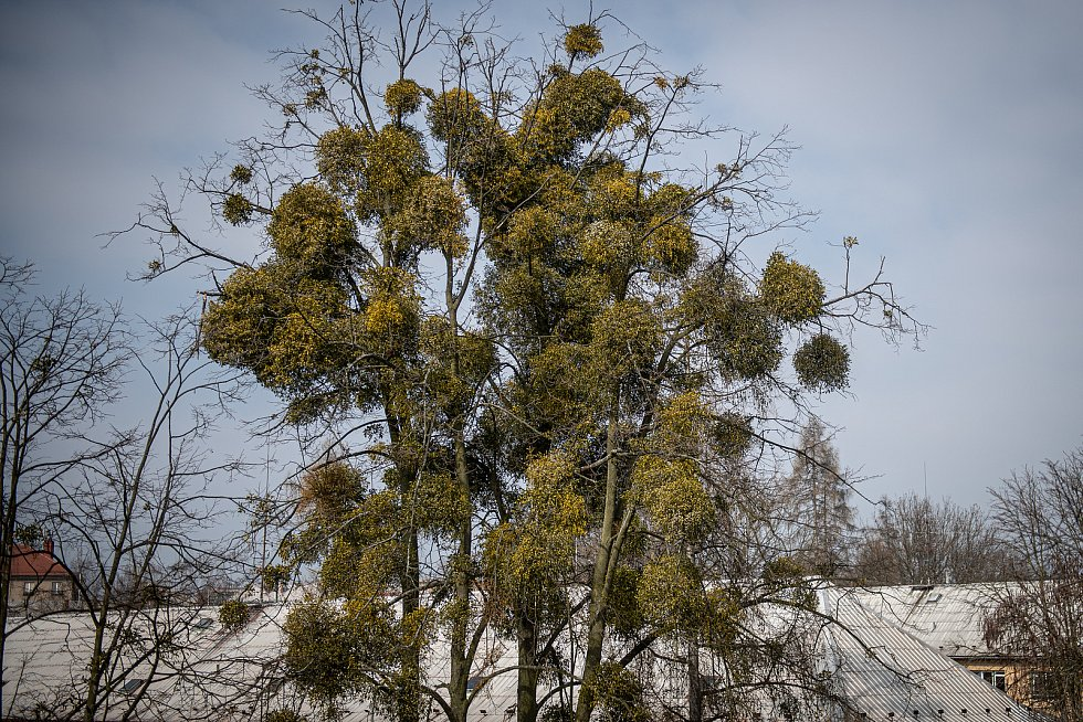 Společnosti Safe Trees provádí postřik proti jmelí v městské části Poruba, 25. března 2021 v Ostravě.