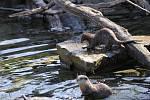 Vydry v ostravské zoo