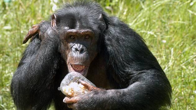 Šimpanzice Zira