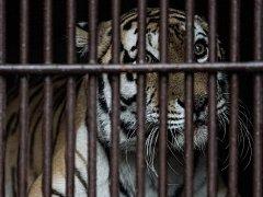 Samice tygra ussurijského, tygřice Maja opustila Ostravu. Snímek ze středečního převozu do Zoologické zahrady v Praze.