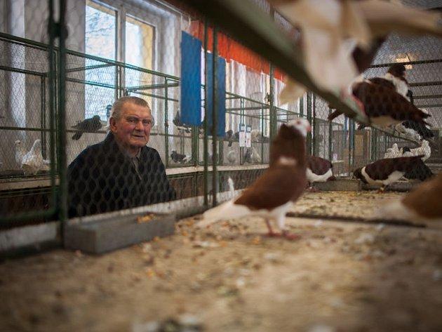 Užitkové a okrasné holuby si o tomto víkendu mohou prohlédnout zájemci ve Slezské Ostravě v sídle Českého svazu chovatelů.