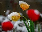 Středa 19. dubna 2017 v Ostravě. Zasněžené tulipány.