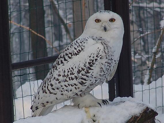 Sovice sněžní v ostravské zoologické zahradě.