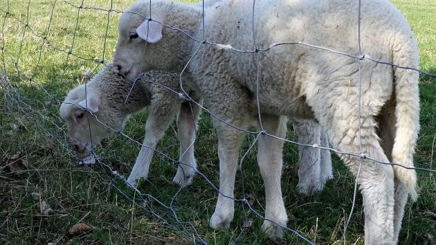 Malé ovečky jako symbol jara.