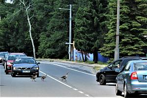 Asi desetičlenné husí hejno zastavilo dopravu v Rychvaldu.