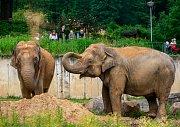 Březí samice slona indického v ostravské zoo, ilustrační foto.