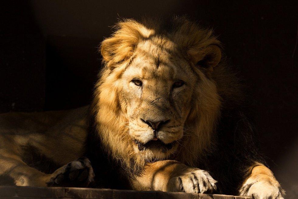 Lev indický z ostravské zoo musel být utracen, byl starý a nemocný.