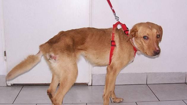 Podvyživeného a vážně zraněného psa našli v pondělí strážníci městské policie přivázaného na odlehlém místě u řeky Ostravice.