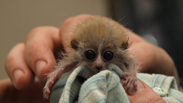 Mládě outloně. Ostravská zoo zahájila internetovou kampaň na záchranu těchto malých poloopic.
