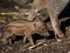 Už šesté mládě prasete visajánského se narodilo v místní zoo.