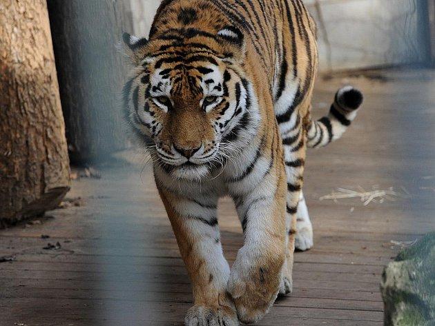 Tygr Thara vytvoří pár s tygřicí Majou.