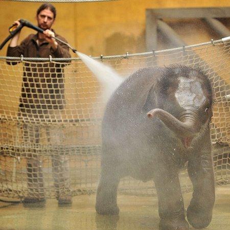 Nejmladší sloní samička zostravské zoo se narodila 4.února 2014.Letos slaví své první narozeniny.