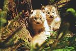 Koťata rysa kanadského, která se narodila v ostravské zoo