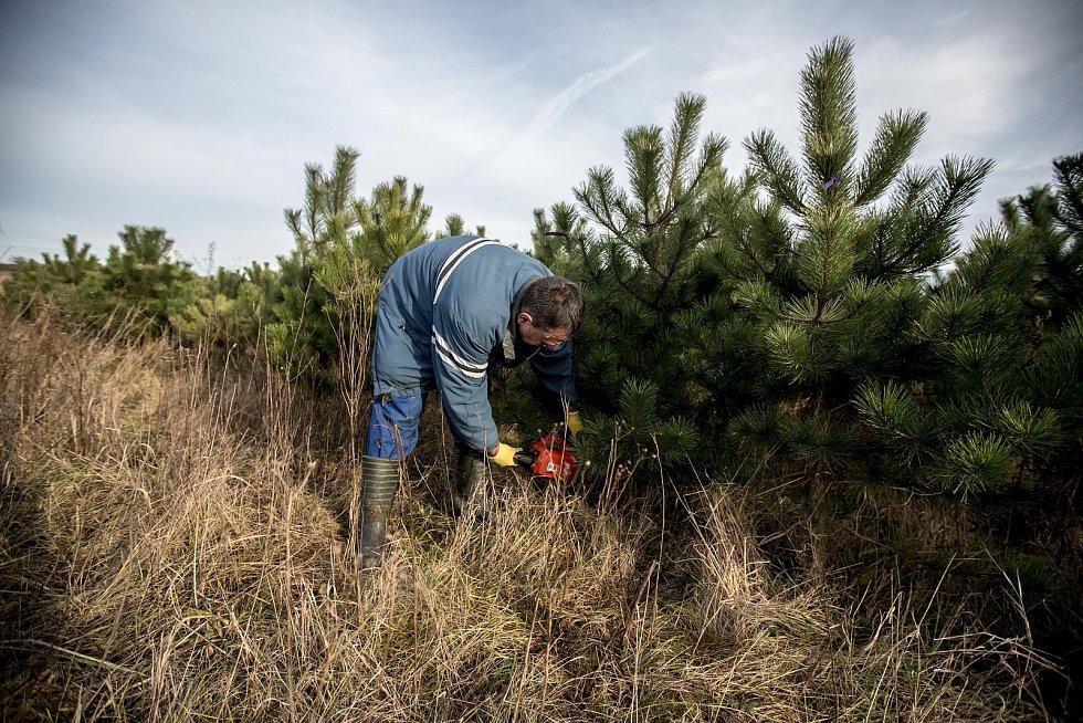 Balení vánočních stromků pro převoz do firmy Zafido na plantáži v obci Konětopy ve Středních Čechách.